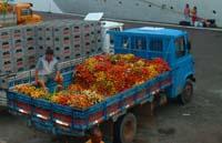 descargando fruta del amazonas
