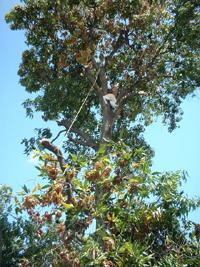 podando la mata de mango