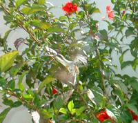 colibri en choroni