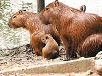 familia de capibaras en los llanoss